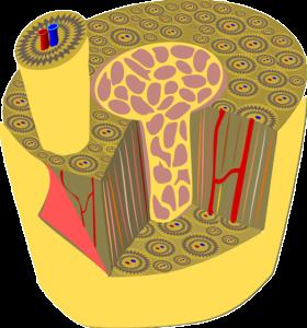 Haversian canal