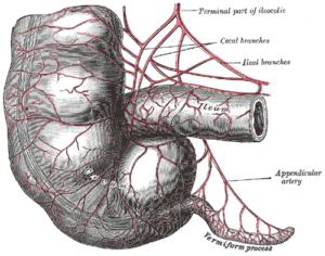 vermiform appendix
